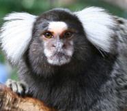 Image d'un ouistiti petit singe